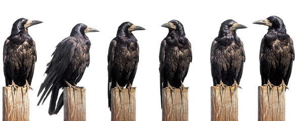 Set of six ravens sit on wooden desk isolated on white, profile face Wall mural