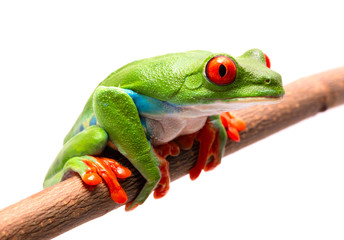 Red eyed tree frog on a branch isolated on white.