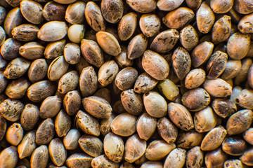 Organic Hemp seed. Top view. Hemp seeds background in macro. Macro detail of marijuana seed. Many Cannabis seeds.