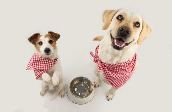 TWO DOGS BEGGING FOOD. LABRADOR AND JACK RUSSELL WAITING FOR EAT WITH A EMPTY BOWL. SITTING ON TWO LEGS. DRESSED WITH RED CHECKERED NAPKING NECK BANDANA. ISOLATED SHOT AGAINST WHITE BACKGROUND.