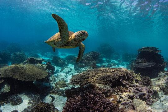 Sea turtle swims on GBR