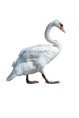 isolated swan on white background