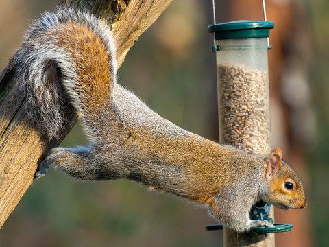 Grey Squirrel ( Sciurus carolinensis ) feeding on a bird feeder