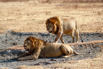 Lions in Serengeti