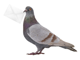 gray dove with envelope isolated