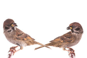 two screaming sparrow isolated
