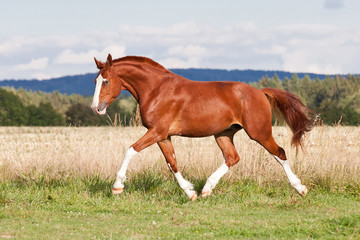 Nice red horse running on the pasture in summer