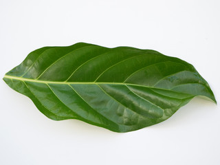 green leaf of noni tree. White background.