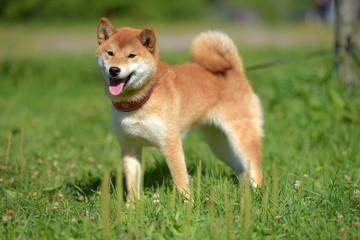 happy siba-ken, a small Japanese dog,