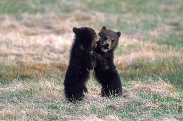 Grizzly Bear cubs play fighting Yellowstone National Park