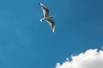 A flying sea gull in the blue sky with white clouds