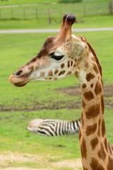 Head shot of a giraffe