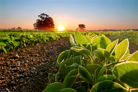 Soybean field and soy plants in early morning.
