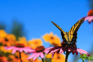 Swallowtail butterfly in a flower garden with echinacea cone flower