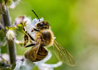 bee pollinating basil flower extreme close up - bee pollinating flower macro photo