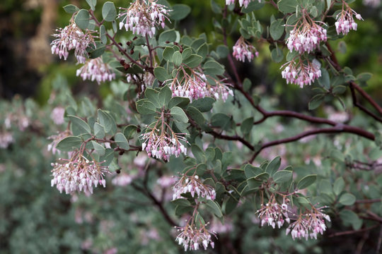 Blossoms On Manzanita Bush Pink And White