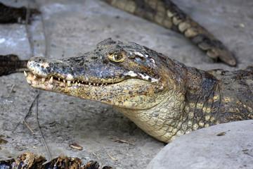Acrylic Prints Crocodile Schöner Krokodil-Kopf
