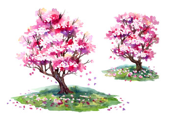 Sakura blooming trees in spring, watercolor painting on white background, isolated with clipping path.