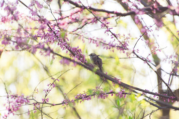 bird on a redbird branch in Spring
