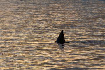 Shark fin during sunset
