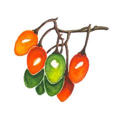 Nightshade berries bunch watercolor illustration