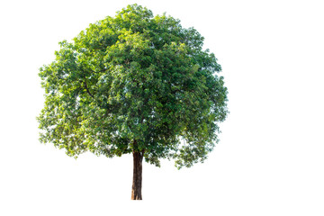 The tree is completely separated from the white ba background Scientific name  Ficus benjamina