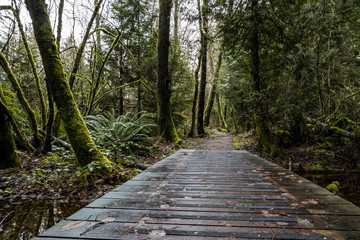 wet wooden walk way inside forest  with tall trees and ferns