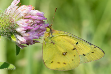 Berger's clouded yellow butterfly on alfalfa blossom