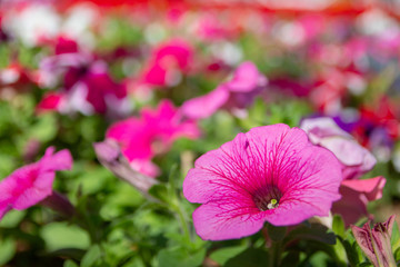 A closeup of pink Petunia flowers