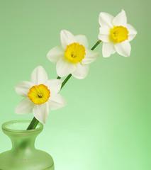 Photo sur Aluminium Three white daffodils on a green background