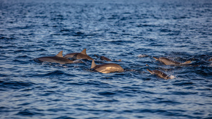 Herd of spinner dolphins traveling on water surface.