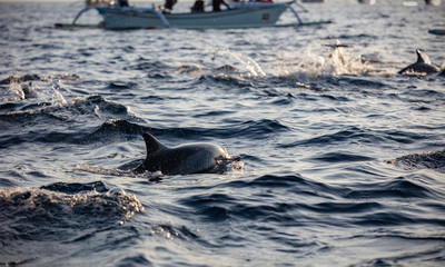 Boats chasing dolphins in morning ocean