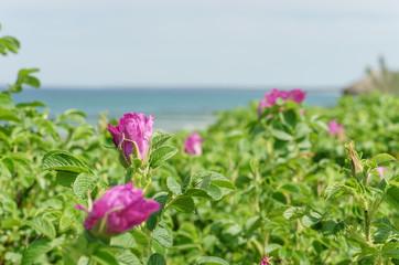 Wildrosen an der Ostseeküste