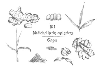 Set hand drawn of Ginger roots, lives and flowers in black color isolated on white background. Retro vintage graphic design. botanical sketch drawing, engraving style