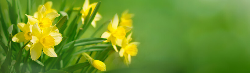 Fotobehang Narcis Beautiful Panoramic Spring background With Daffodils Flowers