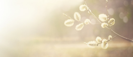 Spring nature background with pussy willow branches