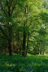 Sommerwald