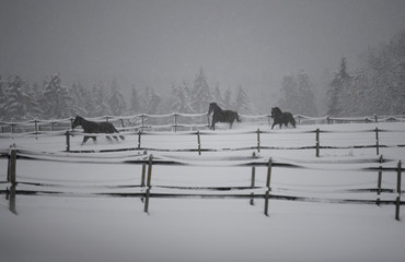 Horses run across a meadow covered with snow in Hohenleiten