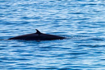 Brydes Whales breaching at Ko Bon island in Thailand's Similan Islands national park