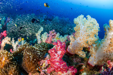 A beautful, colorful and healthy tropical coral reef (Richelieu Rock, Thailand)