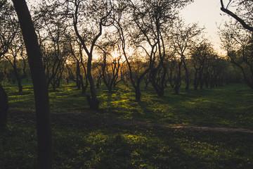 beautiful sunset in apple garden