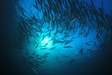 Scuba dive with barracuda fish