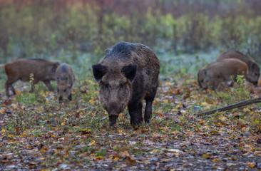 Wild Boar Forest Netherlands