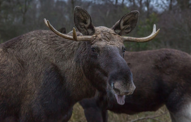 Moose Forest Europe