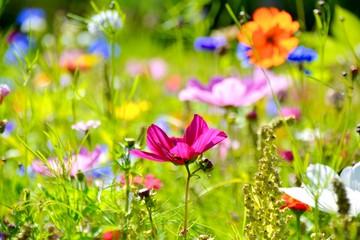 Wall Mural - Blumenwiese im Sommer - Wildblumen Wiese