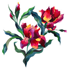 Bouquet with iris flowers, Botanical Hand drawn Watercolor Aquarelle Illustration