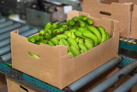 banana box full of ripe green banana in packaging chain .