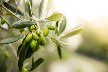 Green Olives on Tree, Italy