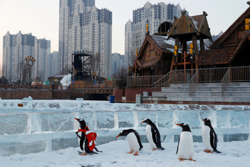 A gentoo penguin is seen during a promotional event during an annual ice festival in the northern city of Harbin