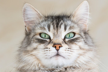 Foreground cat of siberian breed, grey silver color. Pretty kitten indoor in relax